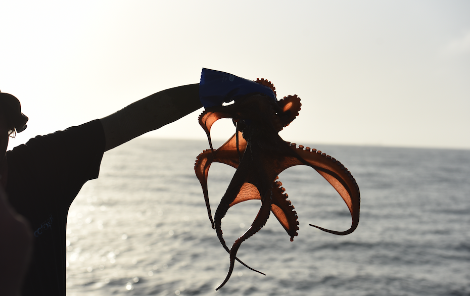 Western Rock Octopus